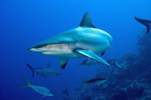 gray reef sharks - komodo diving - north